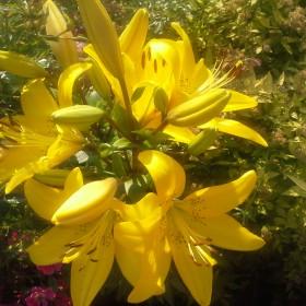 Lilie w ogrodzie Jurka