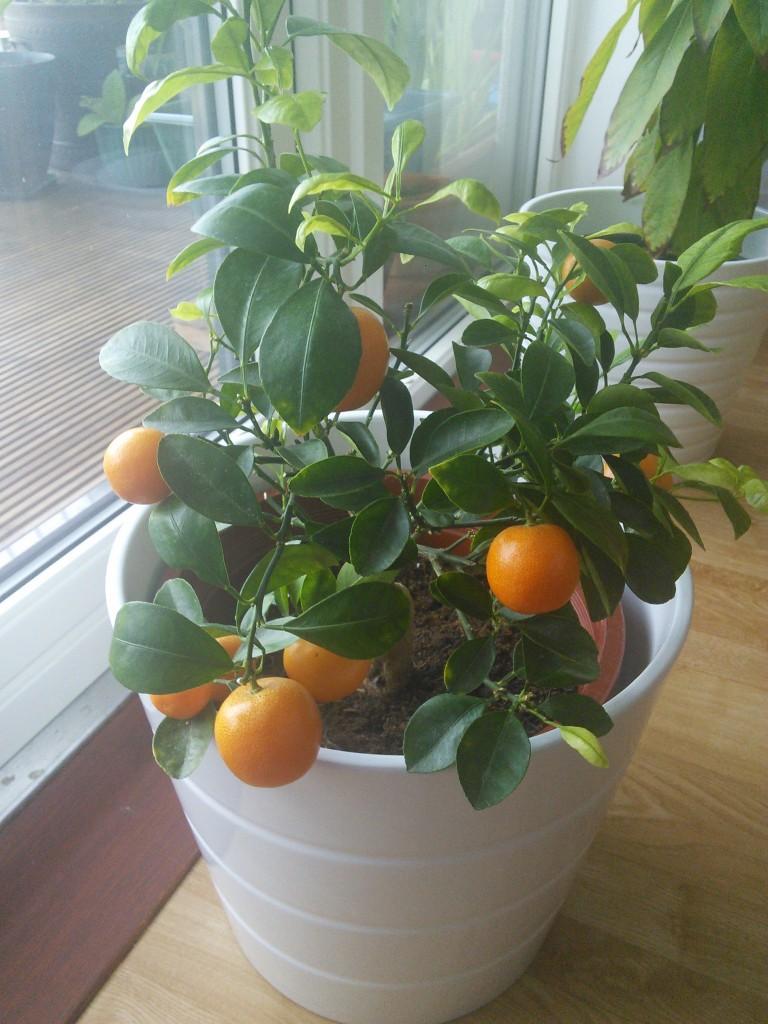 Rośliny, Moje egzotyki zielone - Moja kalamondynka, wdzieczne dziecko cytrusowe, kwitnie i owocuje bez zbednych zabiegow.