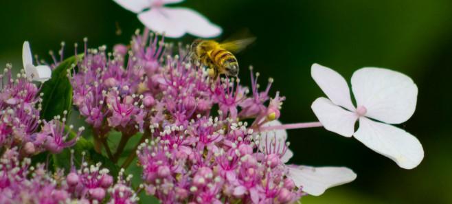 Hortensja pnąca – jedna z najpiękniejszych roślin w polskich ogrodach