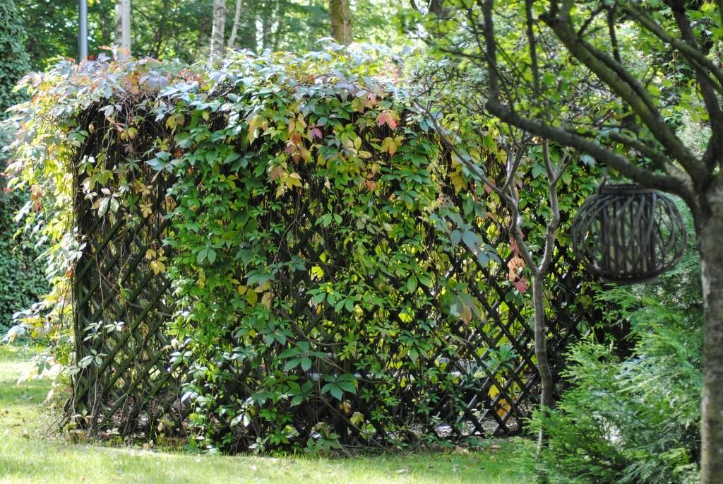 Pozostałe, Ostatnie letnie dni .... - winobluszcz zaczyna swój kolorowy spektakl ...czyli jesień puka do lasku