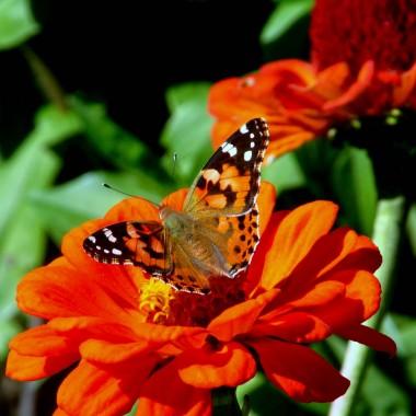 Motyle i inne owady w ogrodzie...