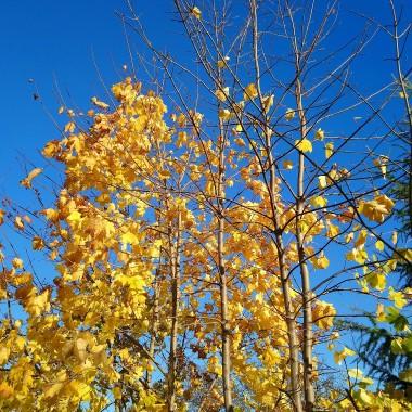 ............i złote liście w promykach słońca...............