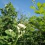 Rośliny, Czerwcowe róże ................. - ...............i kwitnąca jeżyna ....................
