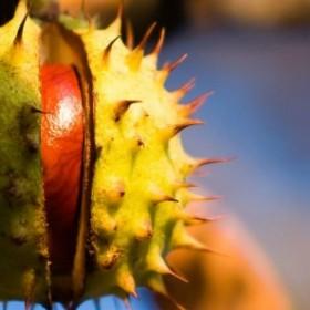 Apteka w ogrodzie: kasztany (uszczelniają ściany naczyń krwionośnych i zmniejszają obrzęki)