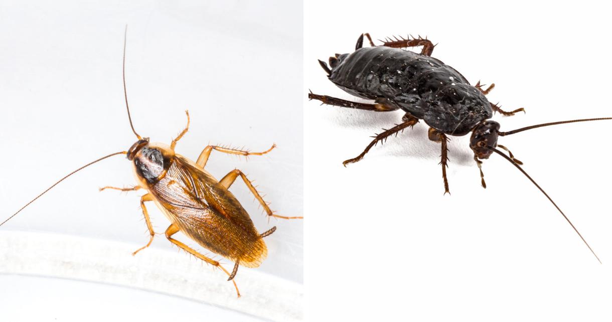 karaluch a pruska różnice