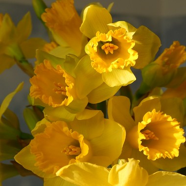 Z niecierpliwością czekam na wiosnę.W moim ogródku nie ma jeszcze kwitnących tulipanów ani innych kwiatów.Tulipanowe cebulki ledwo przebiły się przez zmarzniętą glebę.Tak na przywołanie wiosny posadziłam do skrzynek balkonowych kilka bratków i stokrotek .Wyglądają pięknie w promieniach marcowego słońca.I tak w dzień wystawiam skrzynki na słońce a nocą zabieram do domu...Jednak nic nie stoi na przeszkodzie aby wiosna rozgościła się w domu...Na stołach i parapetach ,w wazonach i kolorowych doniczkach...na kwiecistych obrusach ....Mam taką nadzieję ,że dobrze przyjęta w moim domu z czasem wyjdzie do ogrodu :)Uwielbiam obłędny zapach hiacyntów wypełniający cały dom.Zachwycam się błękitem szafirków i pączkami tulipanów.Wśród wiosennych kwiatów dwa zajączki ....one też uwielbiają wiosnę :)Dziękuję wszystkim odwiedzającym moje galerie.Pozdrawiam serdecznie,Justyna :)