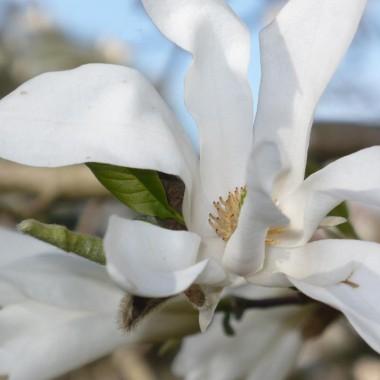 Czas na magnolie..................
