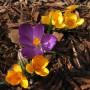"""Rośliny, Przedwiośnie - 'Flower Record' + """"Large Yellow"""""""