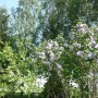 Rośliny, Majowe radości................... - ..................i kwitnące bzy................