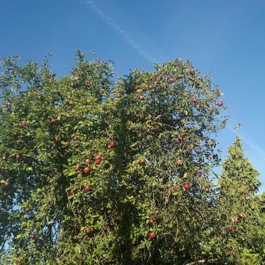 .................i jabłoń..................