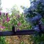Ogród, Bez, bzy - krzewy posadziłam przy płotach