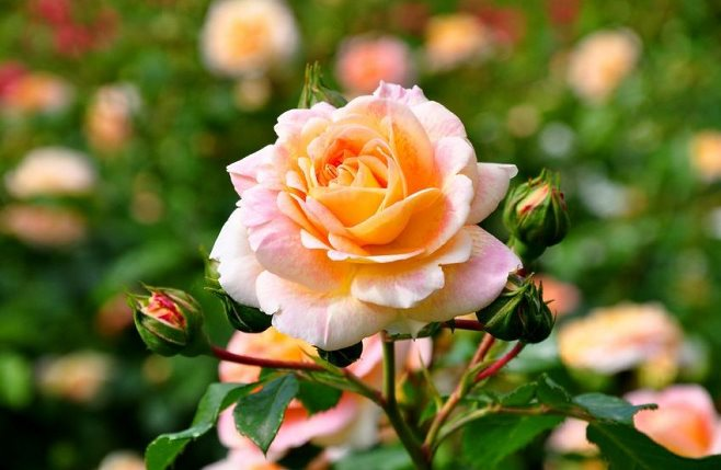 Największe błędy popełniane przy uprawie róż