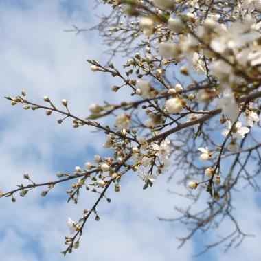 ...........i obsypane kwieciem drzewko owocowe...............