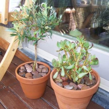 Zmarniała oliwka kupiona po przecenie ze sklepu ogrodniczego - chyba bardziej z litości - powoli zaczyna odbijać oraz grubosz który również odżywa po przelaniu