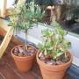 """Balkon, Mój """"tajemniczy ogród"""" - Zmarniała oliwka kupiona po przecenie ze sklepu ogrodniczego - chyba bardziej z litości - powoli zaczyna odbijać oraz grubosz który również odżywa po przelaniu"""