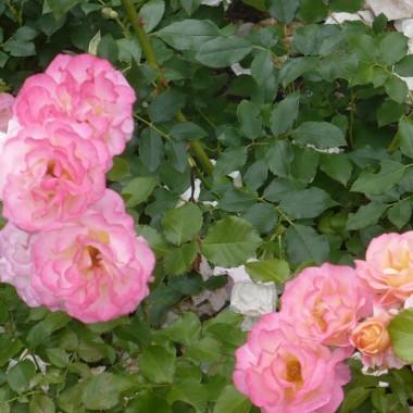 ...............i róże............