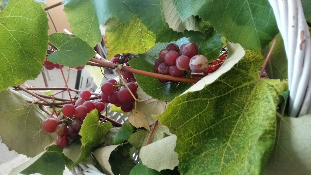 Rośliny, Złoto jesieni i moje zielone bombki..... - .................i winobranie.................
