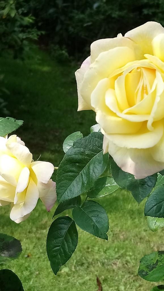Rośliny, Czerwcowe róże ................. - ..................i róże herbaciane..............