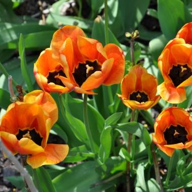 Ogród bez tulipanów obejść się nie może,więc i u mnie jest ich parę.