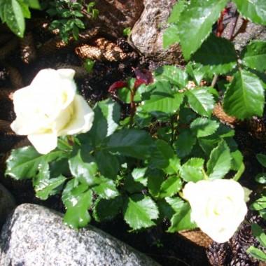 Zakwitły róże na mojej działce.