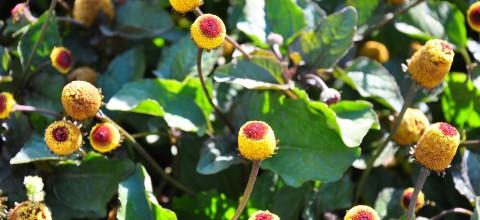 Apteka w ogrodzie: Roślinny botoks - Acmella oleracea