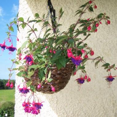 Fuksja kupiona jako jedna wisząca roślinka, przecięta na pół teraz zdobi dwie donice - obecnie już cała obsypana kwiatami :o)