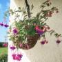 """Balkon, Mój """"tajemniczy ogród"""" - Fuksja kupiona jako jedna wisząca roślinka, przecięta na pół teraz zdobi dwie donice - obecnie już cała obsypana kwiatami :o)"""