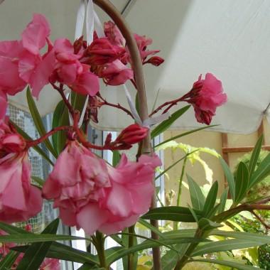 ...............kwiaty oleandra................