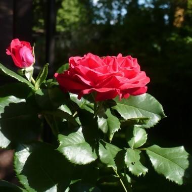 ................i róża...........szkarłatna................
