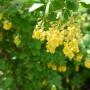 Balkon, Majowe chwile - to żółto jest za sprawą berberysa