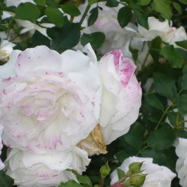 .............i róża...........