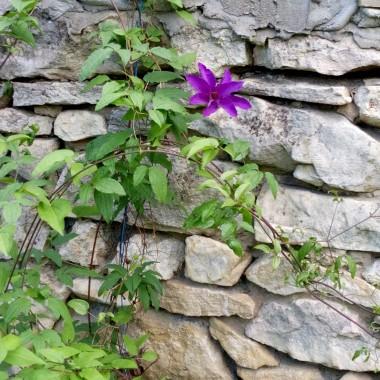 A moje kwiaty już kwitną... Mąż chciał je ściąć na wiosnę bo były całkiem suche :))Na tle kamiennego ogrodzenia wyglądają moim zdaniem uroczo.