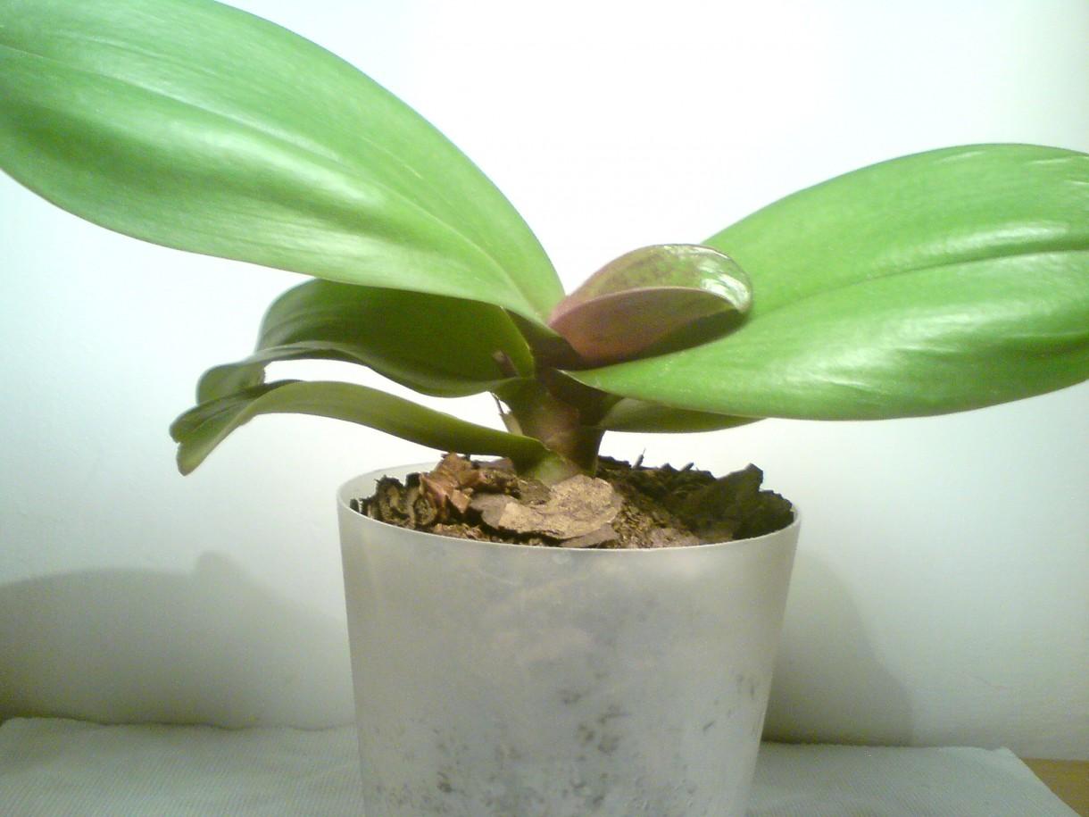 Rośliny, zielony parapet - Storczyk drobnokwiatowy cieszy oko od 4 lat
