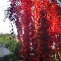 Rośliny, Jesienna galeria ...............z bombkami..... - ...............i dzikie wino...................