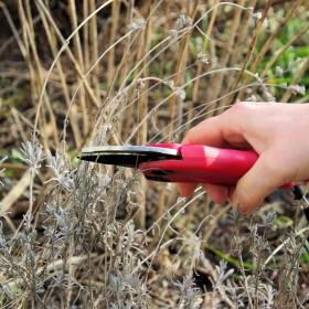 Jak przycinać lawendę jesienią i zabezpieczyć ją na zimę przed mrozami?