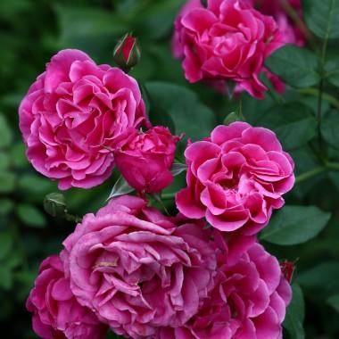 W tym roku ,roże szalały ,miały sprzyjające warunki .Brak wiosennych przymrozków ,dużo słoneczka i brak deszczu. Chcę się z Wami podzielić tym różanym czasem w moim ogrodzie . Pozdrawiam  Was serdecznie i życze pięknych ,radosnych , pełnych wrażeń i słoneczka wakacji.