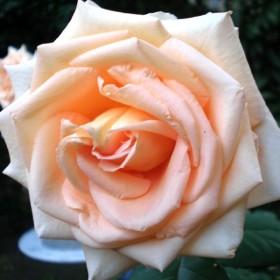 Czas róż ..........