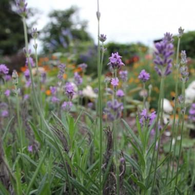 Lipiec w ogródku to lilie wszelkiego rodzaju i koloru