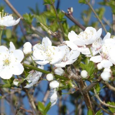 .........i kwiaty śliwy mirabelki.........