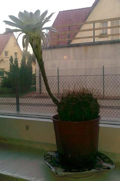 Rośliny, kaktus