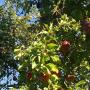 Rośliny, Jesienna galeria ...............z bombkami..... - ..................i jabłuszka.................