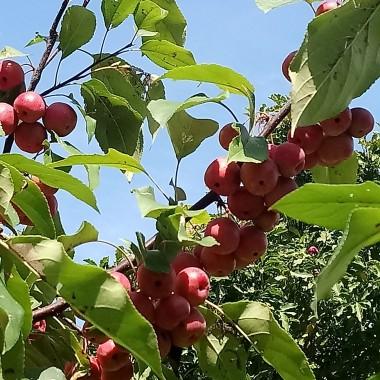 ...............i mała jabłoneczka ugina się pod ciężarem  jabłuszek.............