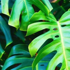 Roślinny hit internetu - Monstera deliciosa