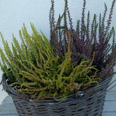 """Jesienią przyroda zmienia się z dnia na dzień, podobnie jest z moim """"mini tarasem"""" czyli blokowym balkonem -  aranżacje zmieniają się w zależności od pogody i mojego nastroju, letnie kwiaty przekwitają, a na ich miejsce pojawiają się jesienne. Bardzo lubię tę porę roku i lubię zmiany..."""