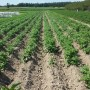 Rośliny, plantacje - ziemniaki