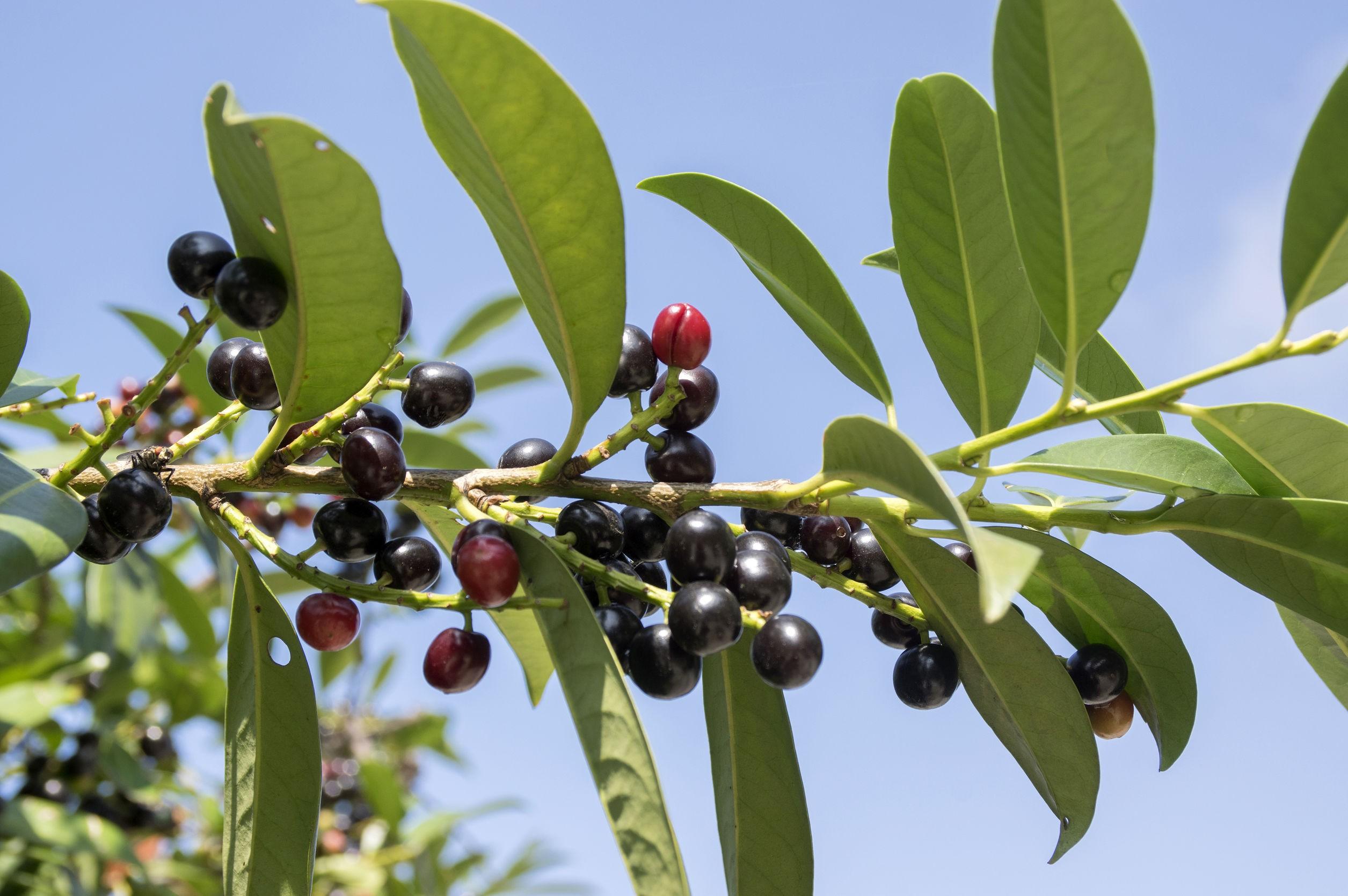 laurowisnia wschodnia owoce czy sa jadalne