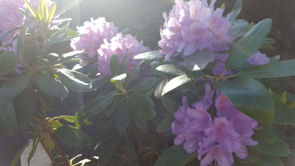 Realizacje, Wiosna zawitała na dobre - Rododendrony