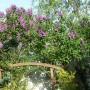 Ogród, Bez, bzy -