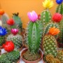Pozostałe, Rośliny, które nie boją się kaloryfera - Kaktusy, również przypisywane są tej grupy. Jednak wbrew pozorom one właśnie boją się kaloryferów najbardziej! To rośliny, które zimowy okres spoczynku powinny przechodzić w temperaturze poniżej 10 st.C.  W domu możemy pozostawić tylko kaktusy epifityczne, do których należy epifyllum o zwisających pędach oraz szlumbergera, zwana grudnikiem. Pozostałe gatunki warto przenieść w chłodne miejsce lub wystawić na balkon.