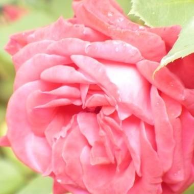 ..............i róża...............